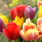 tulips_in_window_4_wc.jpg